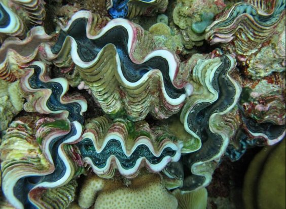 Giant clams