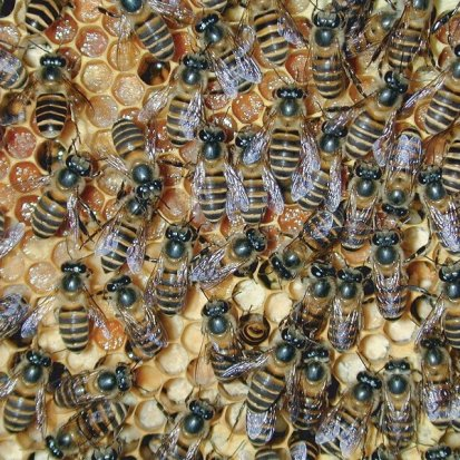 Picture of a hive of Asian honey bees